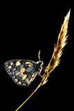 Marbled White Butterfly (Melanargia Galathea) Resting on Grass Stem  Devon  UK