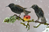 Starlings (Sturnus Vulgaris)  Adults Perched on Branch in Winter Feeding on Apple