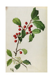 A Sprig of American Holly Tree Berries and Blossoms