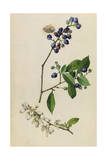 A Sprig of Highbush Blueberry Blossoms and Berries
