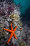 Red Sea Star (Echinaster Sepositus) and Bryozoans Fauna Channel Islands  UK July