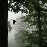 Sillhouette of Black Woodpecker {Dryocopus Martius} Flying from Nest  Vosges Mountains  Lorraine