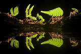 Leaf Cutter Ants (Atta Sp) Female Worker Ants Carry Pieces of Fern Leaves to Nest  Costa Rica