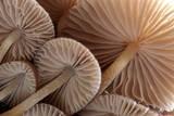 Fungus (Mycena Sp) Gills Backlit  Seen from Low Angle Dartmoor  Devon  UK