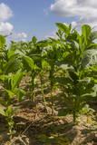 Tobacco Field  Pinar Del Rio  Cuba  West Indies  Caribbean  Central America
