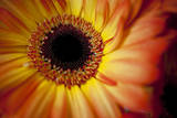 Close Up Portrait of a Gerber or Gerbera Daisy