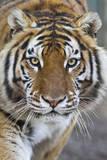 Intense Portrait of a Bengal Tiger Papier Photo par Karine Aigner
