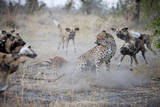 A Lone Cheetah Tries to Fight Off a Pack of African Wild Dogs in Botswana Papier Photo par Karine Aigner