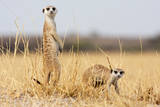 Two Meerkats Alert and on Evening Lookout in the Dry Grass of the Kalahari  Botswana
