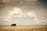 Bison on Antelope Island State Park  Utah
