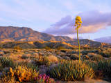 USA  California  Anza-Borrego Desert State Park Agave Wildflowers
