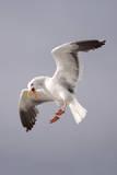 USA  California  La Jolla a Seagull Flying over the Pacific Coast
