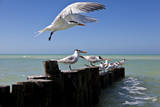 Royal Terns Flying Above the Turquoise Waters of the Gulf of Mexico Off of Holbox Island, Mexico Papier Photo par Karine Aigner