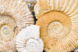 Jurassic Ammonite Fossils for Sale  Medina  Marrakech  Morocco