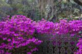 USA  Georgia  Savannah  Azaleas Blooming in Bonaventure Cemetery