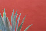 Mexico  San Miguel De Allende Agave Plant Next to Colorful Wall