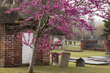 USA  Georgia  Savannah  Red Bud Tree in Colonial Park Cemetery