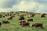 Hereford Cattle Grazing on Hill
