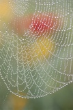 Spider Web Bathed in Drops of Dew