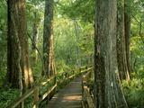 Boardwalk Through Forest of Bald Cypress Trees in Corkscrew Swamp