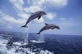 Bottlenose Dolphins Jumping Papier Photo par Craig Tuttle