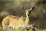Kenya  Portrait of Reedbuck in Maasai Mara National Reserve