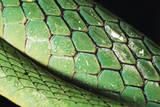 Panama  Central Panama  Barro Colorado Island  Green Parrot Snake