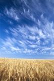Wispy Clouds Swirling over Wheat Field