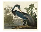 Héron de la Louisiane Reproduction d'art par John James Audubon
