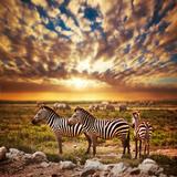 Zebras Herd on Savanna at Sunset  Africa Safari in Serengeti  Tanzania