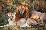 Male Lion and Female Lion - a Couple  on Savanna Safari in Serengeti  Tanzania  Africa