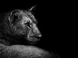Lion Papier Photo par Donvanstaden