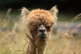 Alpaca Lama Papier Photo par Erikgessinger