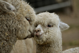 Alpaca Mother and Daughter