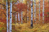 Forest of the Rocky Mountain Maple and Quaking Aspen Tree in the Wasatch Mountains Autumn Season