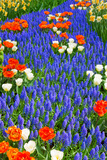 Blue River of Muscari Flowers in Holland Garden