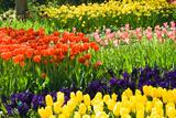 Tulips  Hyacinths and Daffodils