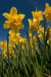Yellow Daffodils in Front of a Blue Sky