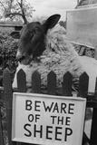 Shambles the Sheep