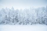Birch Trees in the Snow  Kiruna  Sweden