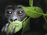 Baby Mountain Gorilla  North West Rwanda
