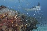 Giant Manta Ray at Cleaning Station Papier Photo par Jones/Shimlock-Secret Sea Visions