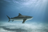 Tiger Shark in Water