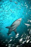 Big Raggie Swims through Baitfish Shoal Papier Photo par Jean Tresfon