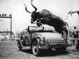 Hurdling Steer