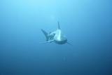 Front View of a Tiger Shark (Galeocerdo Cuvieri) Papier Photo par Roger Horrocks