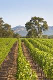 A Lush Green Vineyard in Napa Valley  California