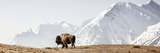 Buffalo (American Bison) Walks along Grassy Slope