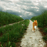 Lone Red and White Cat Walking along Grassy Path