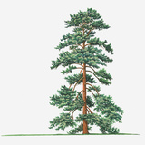 Illustration of Evergreen Pinus Wallichiana (Bhutan Pine  Himalayan Pine) Tree